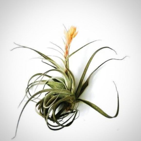 air plant with yellow flower