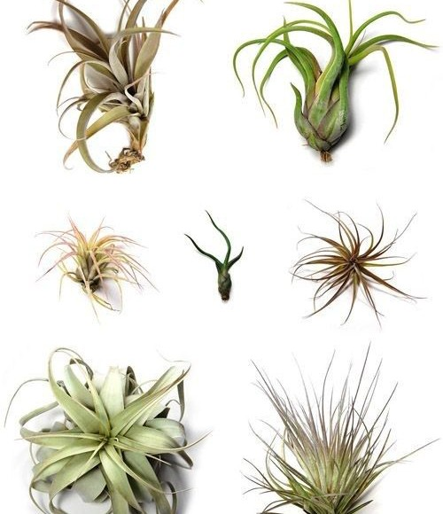 Various Air Plants