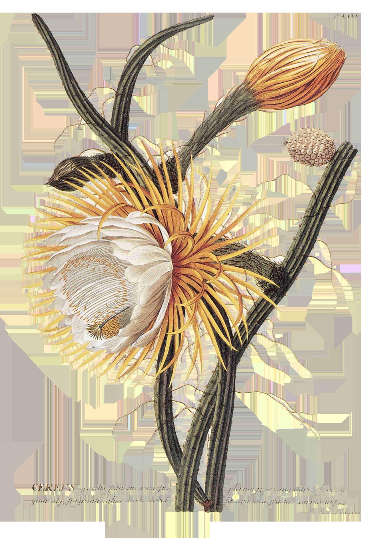 ochre-flower.